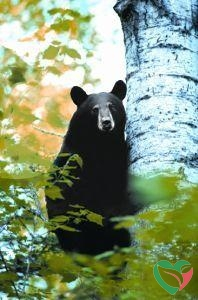Animal Essences Bear (beer)